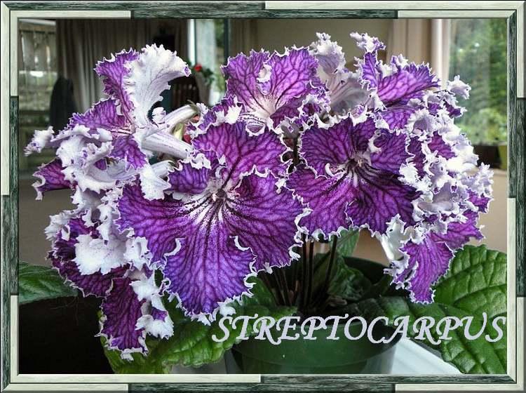 Plantes d'Intérieur : STREPTOCARPUS  (Gesnériacées)
