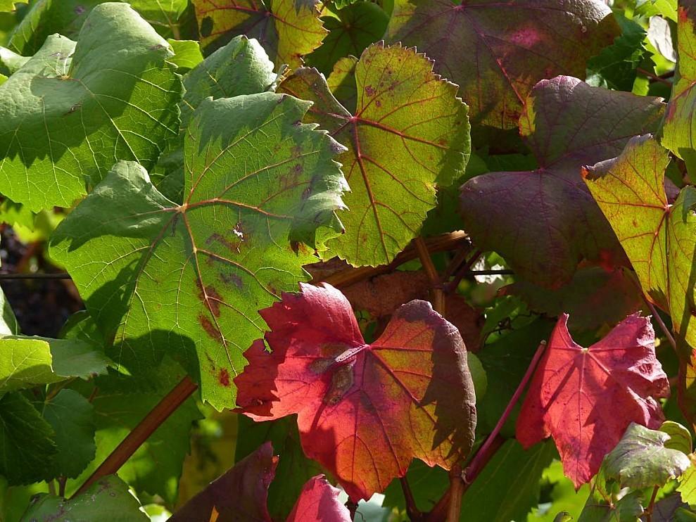 Vigne-feuilles.jpg