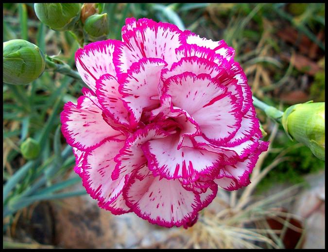 La fleur de Janvier