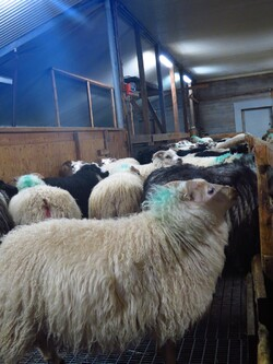 26 octobre, pêche à Dalvík, visite à la ferme