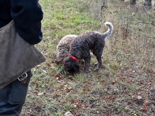 Le cavage de la truffe de Bourgogne...