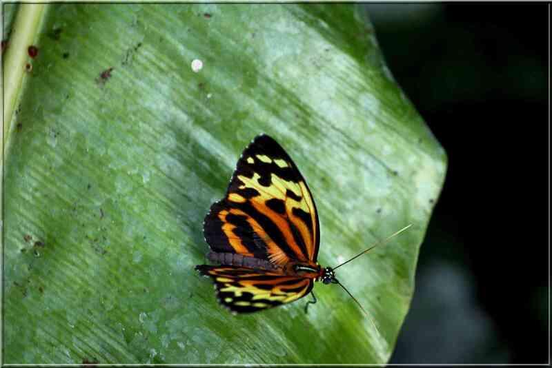 Papillons tropicaux Tithorea harmonia pseudethra