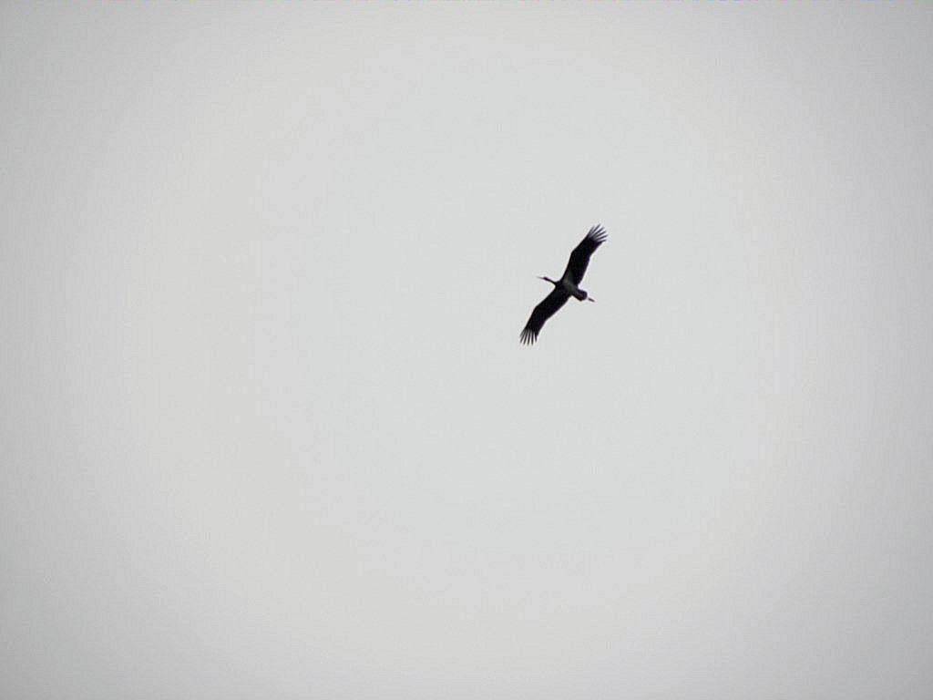 Milan royal et cigogne noir
