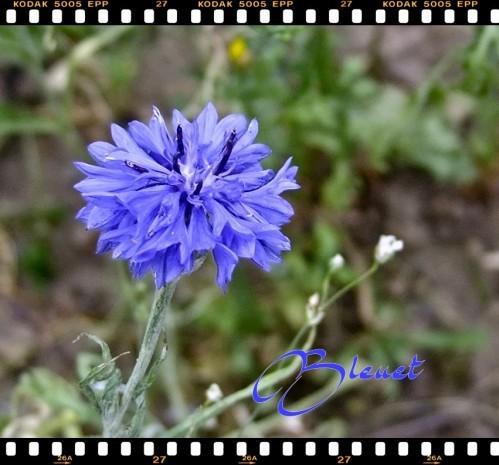 bleuet-1.jpg