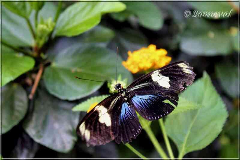 Papillons tropicaux Heliconius doris