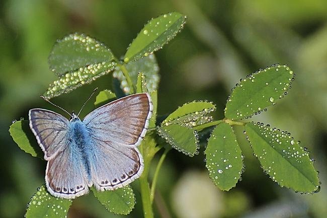 Argus bleu-nacré