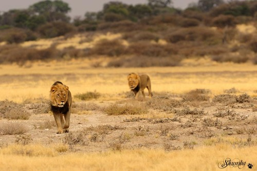 Black manes of Mabuasehube, Kgalagadi NP