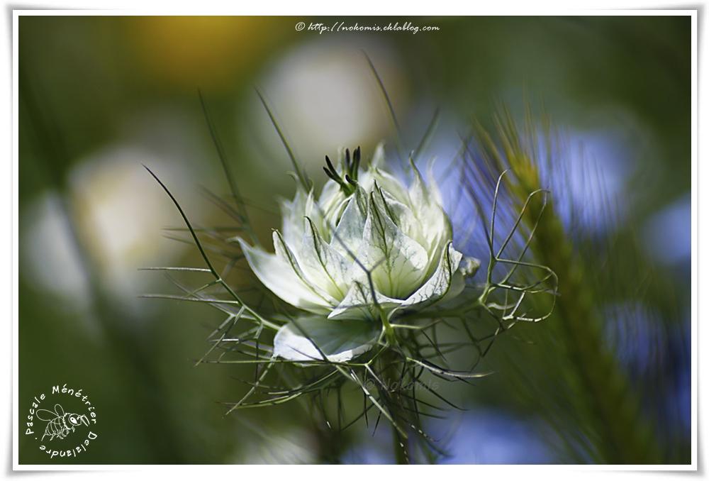 Nigelle de Damas (Nigella damascena)