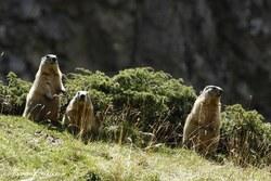 Mammifères 6 (Spécial Marmottes - Hautes Pyrénées) - septembre 2015