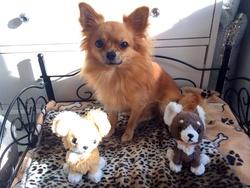 Chihuahuas Kawaii