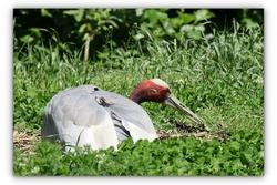 Grue Antigone - Parc aux oiseaux