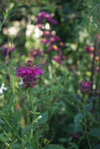 monarde didyma Cranberry Lace et grands asters rouges