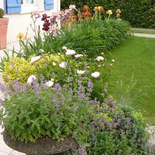 Les grands iris de jardin...