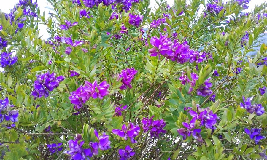 Véronique en fleurs