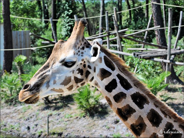 Photos Girafes de Rotchild - Zoo d'Arcachon