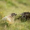 Marmottes du Puy Mary (2)