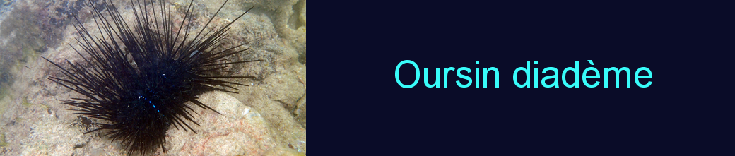 oursin diadème