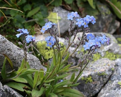 Fleurs cultivées : Myosotis