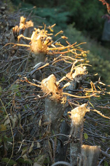 Sous les chênes... dans la lumière du matin
