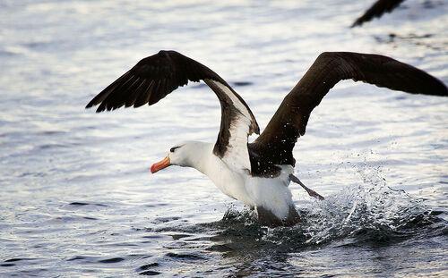 Les Albatros