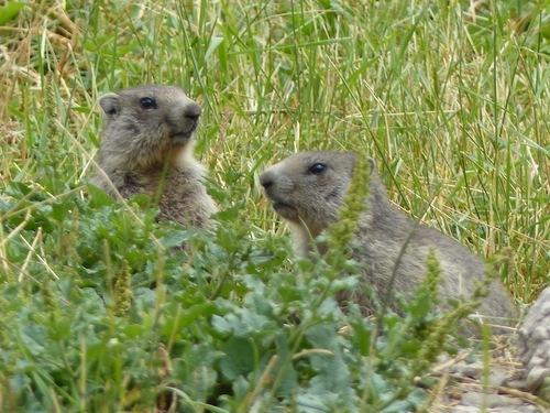 Marmottes à Fouillouse