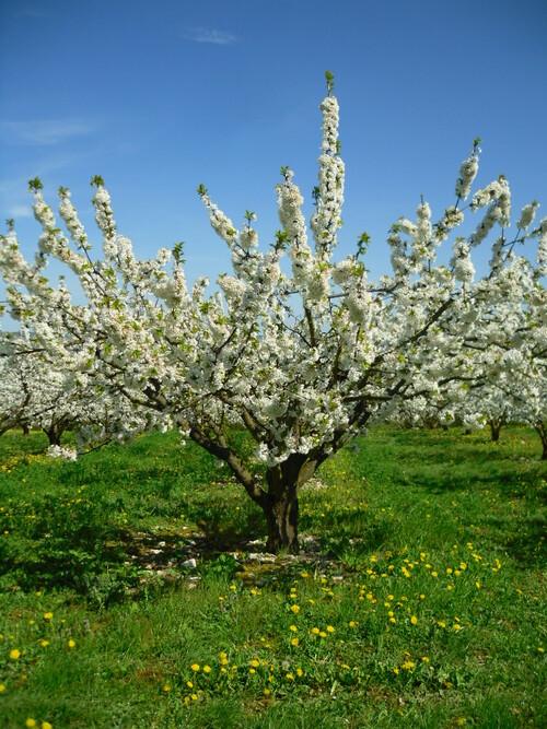 Cerisiers en fleurs dans le Pays Coulangeois