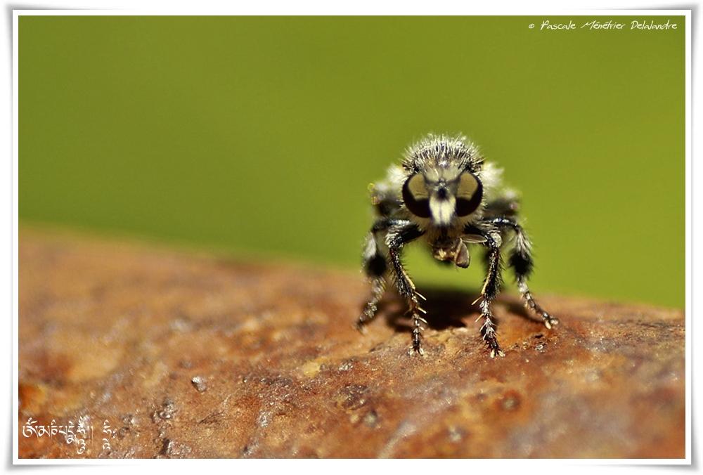 Asilidae laphriilae