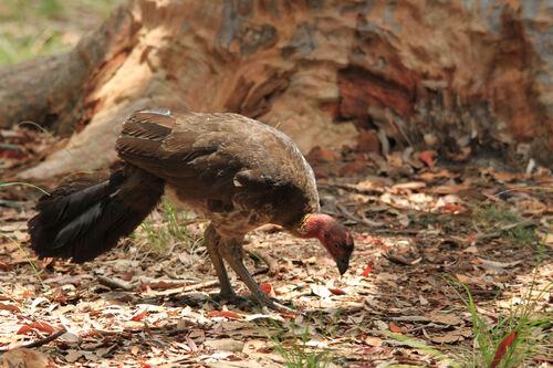 Talégalle de Latham (Australian Brushturkey) NSW Australie