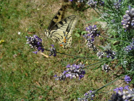 le_machaon_3