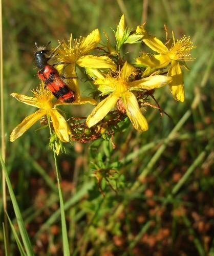Trichodes apiarius sur des fleurs de millepertuis