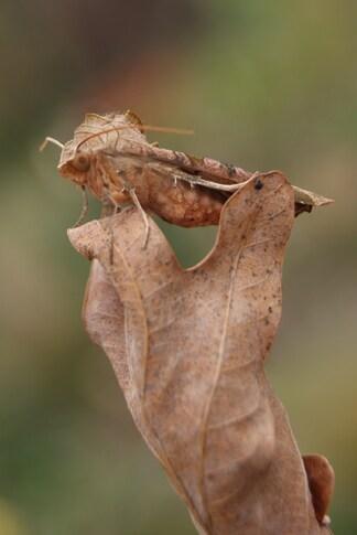 Papillon nocturne la Craintive ou la Méticuleuse ( Phlogophora meticulosa)