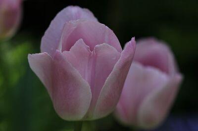 Tulipes 2014 : Rosalie