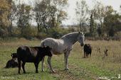 Cheval et Taurillons de Camargue