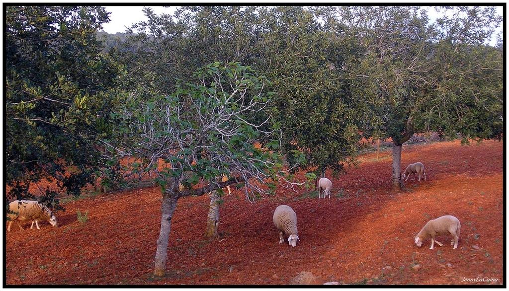 Moutons d'Ibiza... Devinette