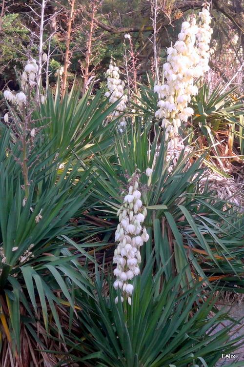 Les fleurs des yuccas