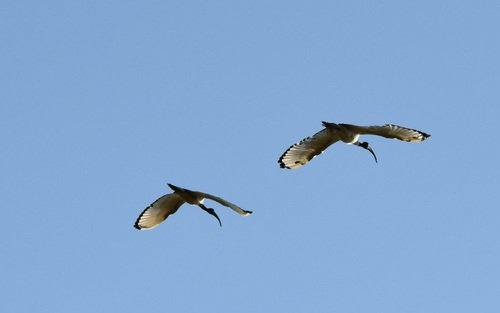 ... ibis...