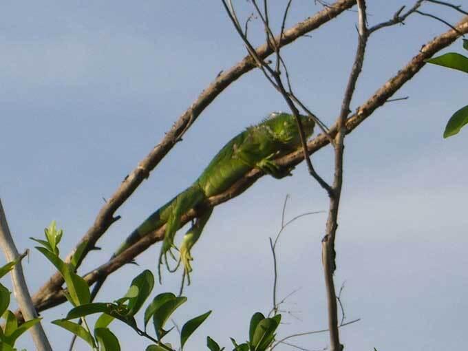 Iguane vert juvenile