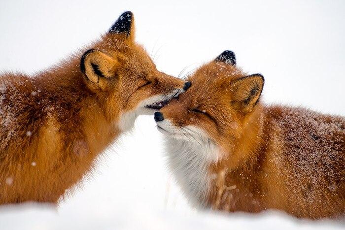 Animaux de Tchoukotka: jolies photos de renards russes d'Ivan Kislov