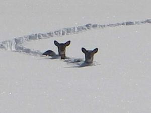 Chevreuils-_neige_Riki.jpg