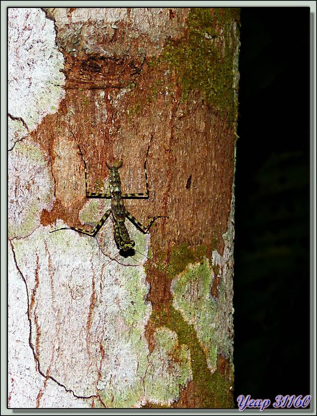 Blog de images-du-pays-des-ours : Images du Pays des Ours (et d'ailleurs ...), Mante religieuse - La Palma - Puerto Jiménez - Costa Rica
