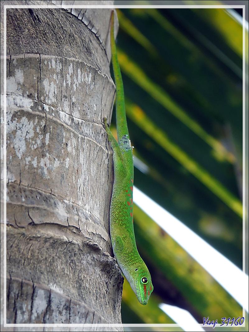 Promenade dans la forêt de Nosy Sakatia : Rencontre avec le Géant vert manchot ... Gecko géant de Madagascar (Phelsuma madagascariensis) - Madagascar