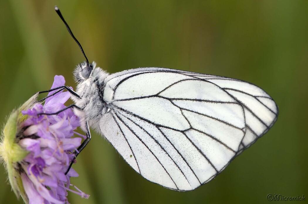 Papillon Le Gazé - Aporia Crataegi - Pieridae