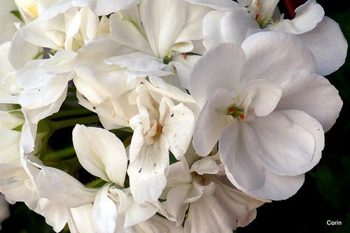 Mes géraniums : le rouge et le blanc !