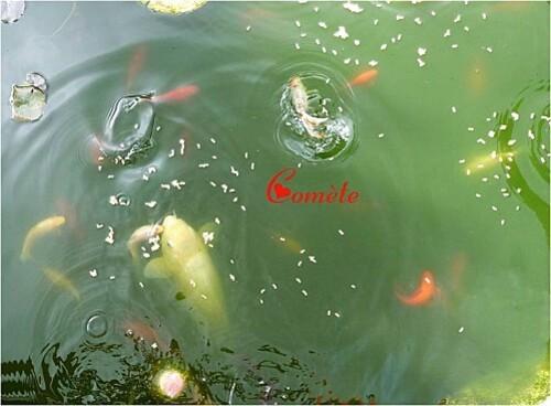 Nos canards mandarins le 10. 07. 2011