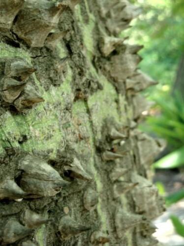 Jardin botanique de Palerme, l'arbre bouteille, détail 1pg