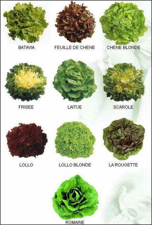 Vertus médicinales des légumes et des fruits : LAITUES