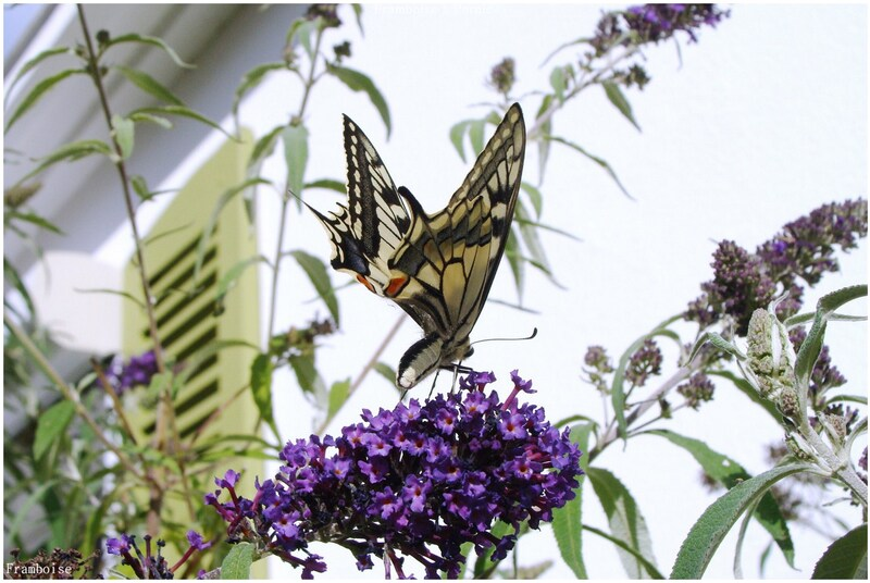 Papillons le machaon