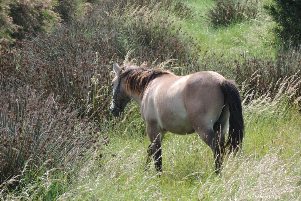 des chevaux dans le marais à Oléron (17)