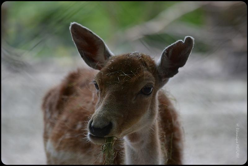 La Ménagerie, Zoo du Jardin des Plantes : Le Daim moucheté