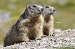 Le miroir aux marmottes